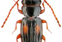 laemophleidae
