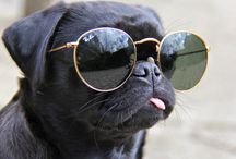 Pugs wearing sunglasses