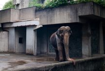 Elephant living in cement cage for 61 years / Hanako is the oldest elephant in Japan. Of the 68 years of its existence last 61 are spent in an empty cement room at the zoo in Inokashira in Tokyo.