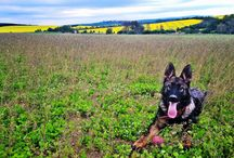 German shepherd - Aston Va-Pe / Breeding station Smolicek