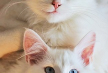 My Pets / My cats are Prince Von Tass and Hope Von Sparkel. They had babies, and i keept one- Lily Von Tass  Hope is a White Maine Coon with beautiful blue eyes. Prince is a mix of Norweigan Forest, Persian and Birma .  My dog Hubbe is a Brown Labrador ❤