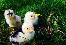 Splash Ameraucana chicks / Splash Ameraucana chicks