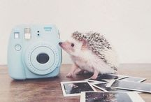Hedgehog/sün