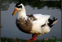 Ducks / by Autumn Soleil