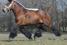 Trek paarden Belg