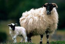 Tapety - zwierzęta - owce i barany