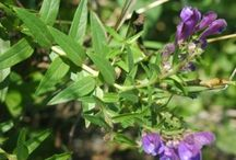 Chinese Skullcap (Scutellaria baicalensis) / All things related to the medicinal herb Chinese Skullcap (Scutellaria baicalensis)