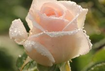 "Wonderland ""Rose"""