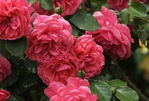 Flowers Roses / A rose is a woody perennial of the genus Rosa, within the family Rosaceae. There are over 100 species.