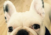 French bulldogs / Sweet nad Cute frenchies ❤❤