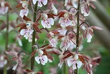 2016 PDN Calanthe / ew plants will tolerate very dark dry shade as well as the hardy calanthe orchids. Unlike many hardy orchids for sale, calanthe orchids are very easy-to-grow shade perennials that multiply into very large clumps. Calanthe orchids have magnificent flowers that often boast a clove-like fragrance.