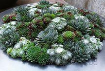 Succulenter