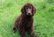 American Water Spaniel / American Water Spaniel dog breed pictures