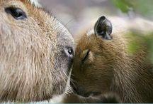 capybarlife