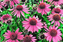 rood/roze bloeiende planten