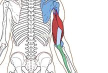Upper arm - Orgin/Insertion / Muscles of the upper arm