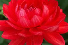 Dahlias bright