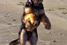 i ♥ German shepherd