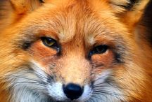 Canidae Family / domestic dogs, wolves, foxes, jackals, dingoes. etc dog like mammals.   (Canid)