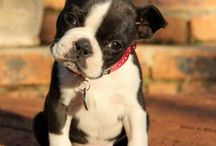 Pugs, Bulldogs, and Frenchies...OH MY!