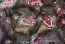 Chiroptera / Bats