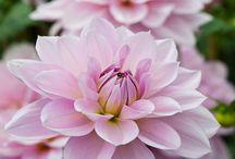 Annen blomster.