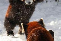 panda roux  ❤❤❤❤❤
