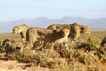 Western Cape Cheetah Conservation / Western Cape Cheetah Conservation, spearheaded by Inverdoorn, is an organisation dedicated to the protection, rescue and rehabilitation of the endangered cheetah.