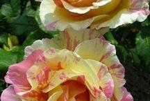 Delbard roses