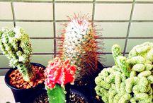 Cactus/Caudex