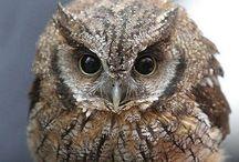 Adoreable Owl