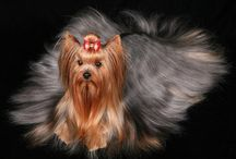 Yorkshire terrier / by Dulce Ibarra López