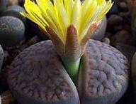 Succulents - Lithops