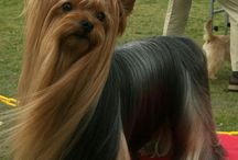 Beautiful Yorkshire Terriers
