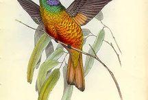 Hummingbirds illustrations