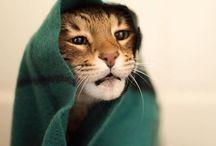 Kucing Bikin Gemes
