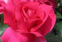 Rose Manou Meilland ® Meitulimon
