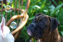 How Can You Not Love a Boxer? / by Kathy McWilliams