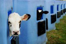 {Cows} say MOO... / by Jodi Keller