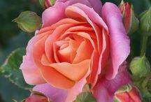 ✿⊱ Rose che mi piacciono ✿⊱