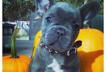 I want MY puppy! / Mini French Bulldog / by Destiny Simon