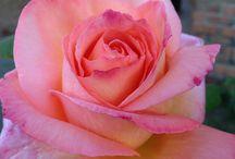 Roses / rozen
