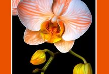 Orchids Flowers / Exotic Flowers - Orchids (Anggrek)
