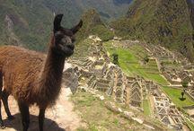 photo bombing llama