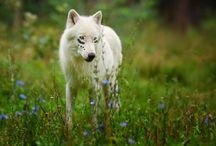 Mé návrhy na zbarvení vlků