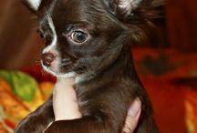 Chihuahuas, black, blue or merle.
