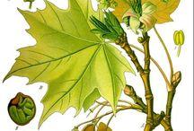Herbarium (alte Kräuterbilder,..)