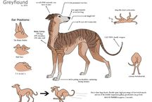 Greyhound or sighthound / Adoption is inevitable