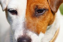 Juck Russel terrier