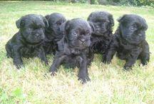 Affenpinscher / Affenpinscher dog breed pictures